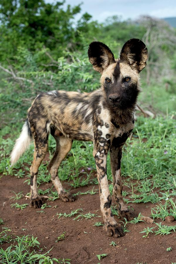 Africa Photograph - Juvenile African Hunting Dog by Tony Camacho/science Photo Library