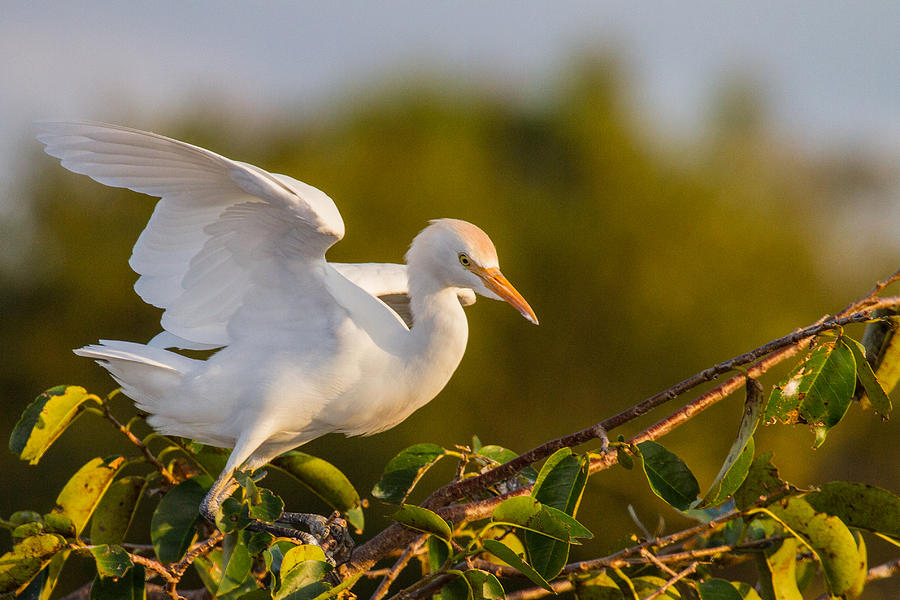 Animal Photograph - Juvenile Cattle Egret by Andres Leon