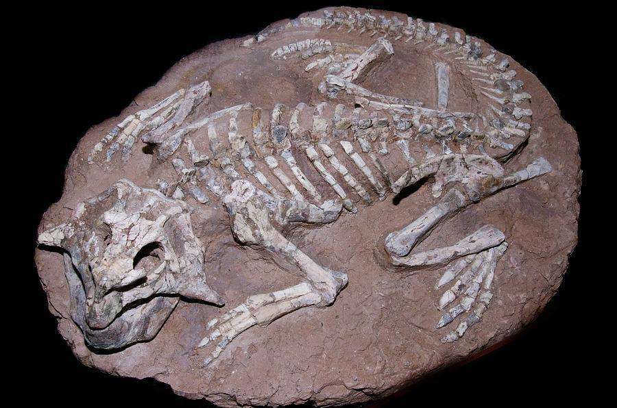 Cretaceous Photograph - Juvenile Dinosaur Skeleton by Sinclair Stammers