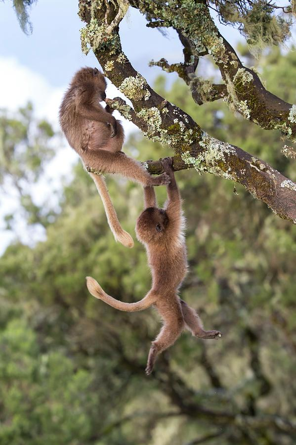 Africa Photograph - Juvenile Gelada Baboons At Play by Peter J. Raymond