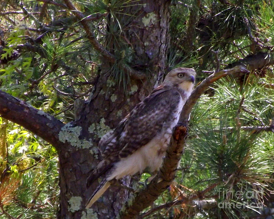 Red-tailed Hawk Photograph - Juvenile Red-tailed Hawk by CapeScapes Fine Art Photography