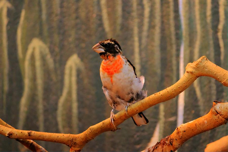 Nature Photograph - Juvenile Rose Breasted Grosbeak by Larry Trupp