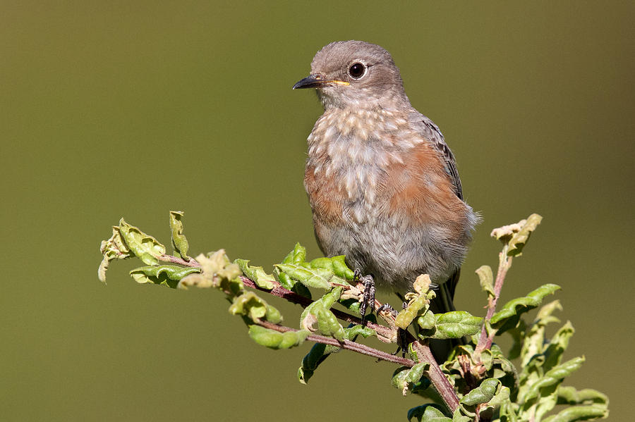 Juvenile Western Bluebird by Steve Kaye