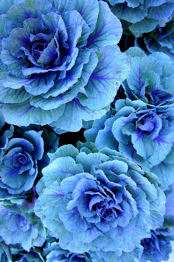 Kale Photograph - Kale by Laurie Perry