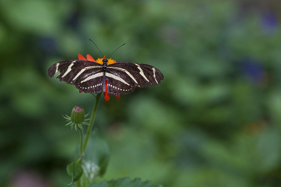 Butterfly Photograph - Kanapaha Butterfly I by Charles Warren