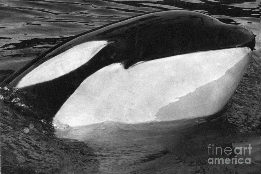 Kandu Photograph - Kandu Orca Seattle Aquarium 1969 Pat Hathaway Photo Killer Whale Seattle by California Views Mr Pat Hathaway Archives