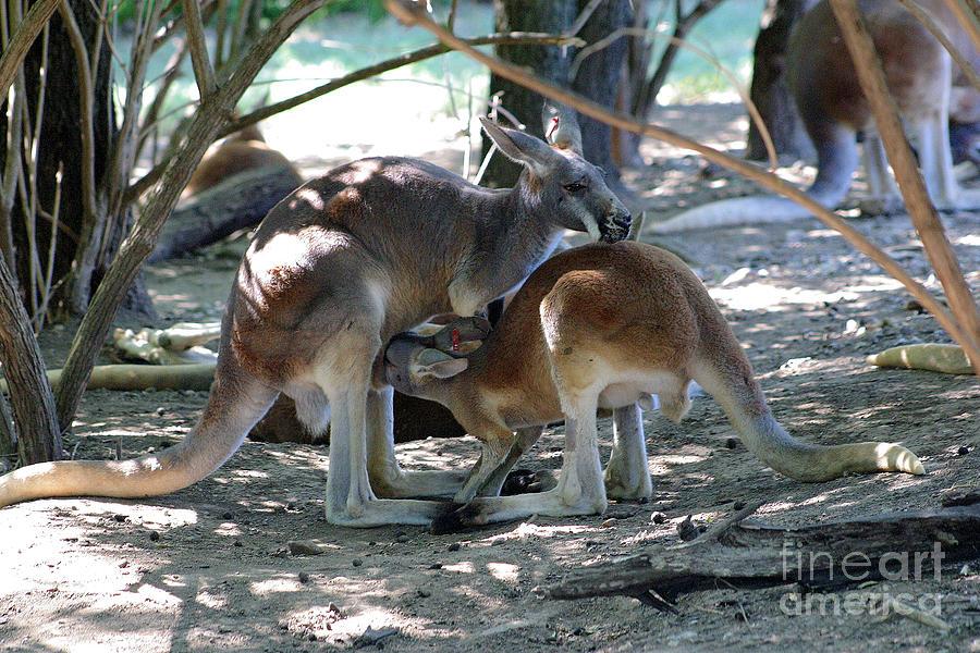 Kangaroo Photograph - Kangaroo Nurse-6 by Gary Gingrich Galleries