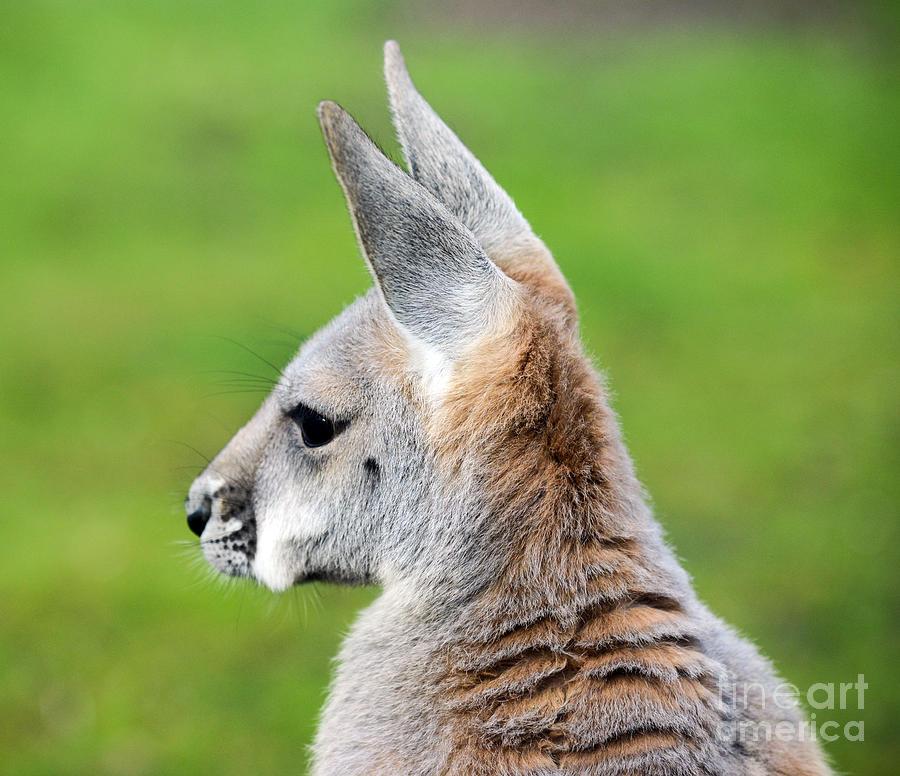 Kangaroo Photograph - Kangaroo Portrait by Aleksandar Mijatovic