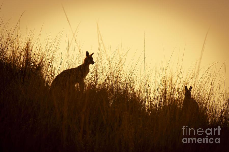 Animal Photograph - Kangaroo Silhouettes by Tim Hester