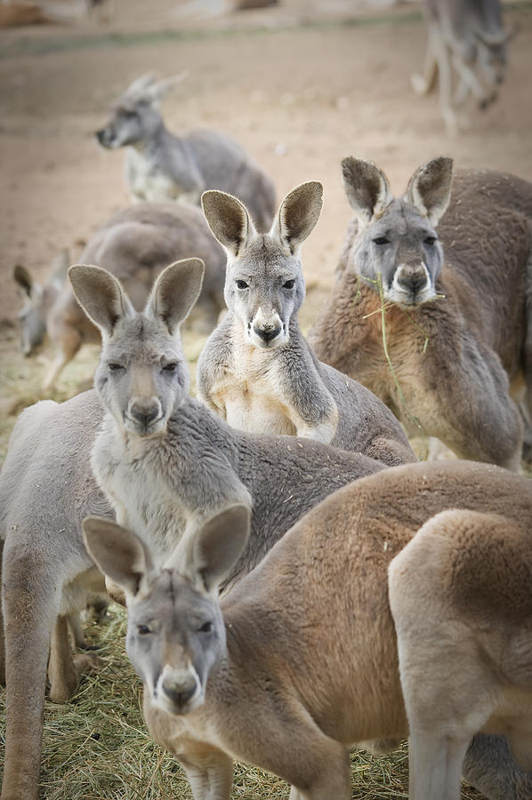 Marsupial Photograph - Kangaroos Waga Waga Australia by Jim Julien