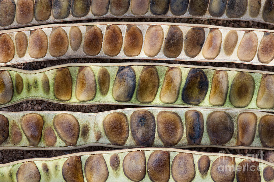 India Photograph - Kassod Tree Seed Pods Pattern by Tim Gainey