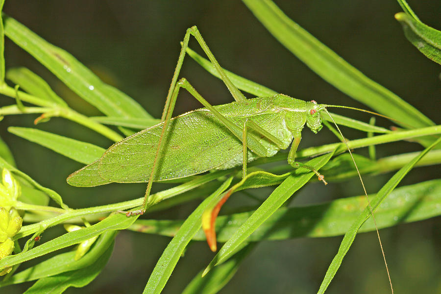 Katydid Mimicking Leaves Photograph by Scott Leslie