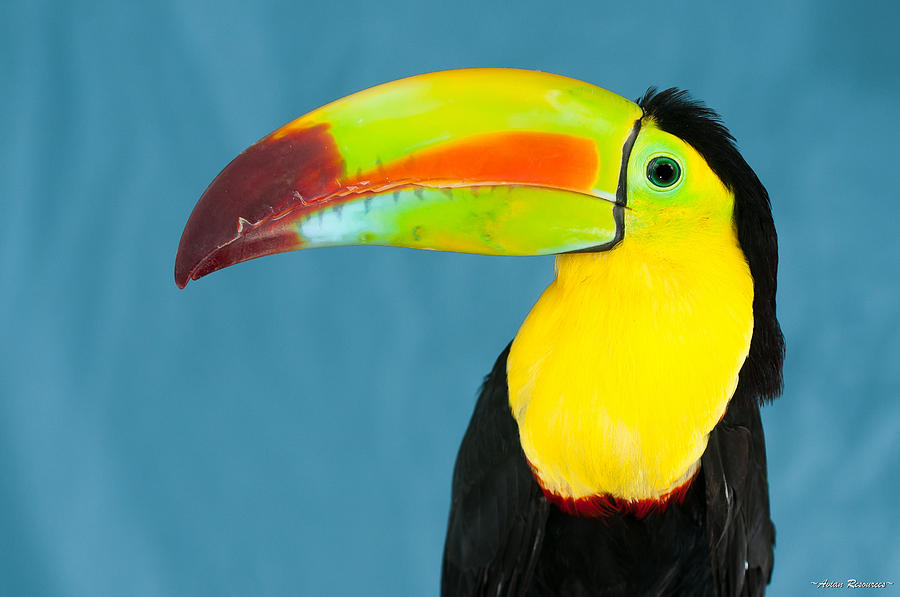 Keel-billed Toucan on Blue by Avian Resources