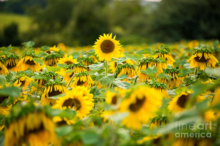 Sunflower Sunset Photograph - Keep Your Head Up by Michael Ver Sprill