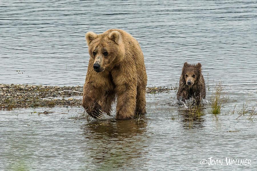 Alaska Photograph - Keeping up with mom by Joan Wallner