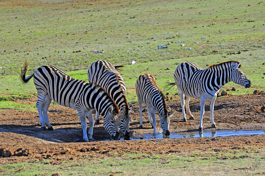 Zebra Photograph - Keeping Watch by Jay Walshon MD