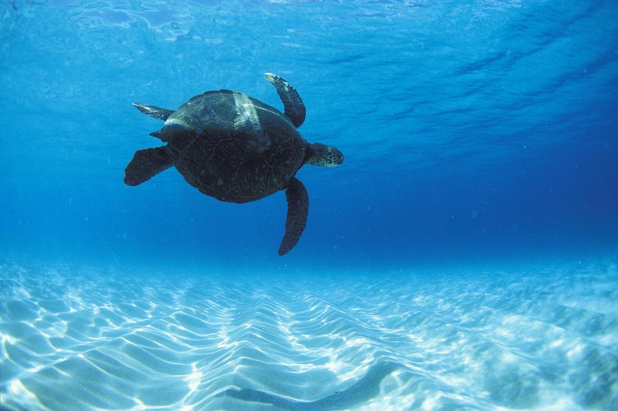 Under Water Photograph - Keiki Turtle by Sean Davey