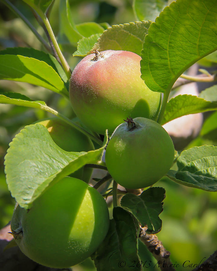 Kelowna Apples II Photograph by Marie  Cardona