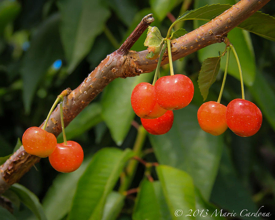 Kelowna Cherries Photograph by Marie  Cardona