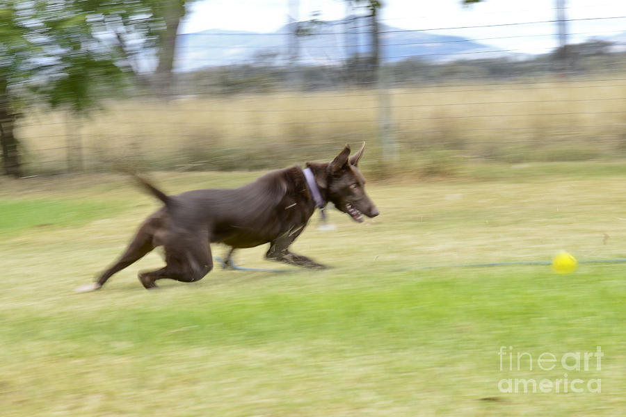 Dog Photograph - Kelpie Chasing A Ball by Christopher Edmunds