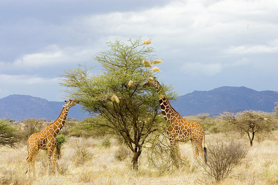 Africa Photograph - Kenya Two Giraffes Eat Leaves Off Tree by Jaynes Gallery