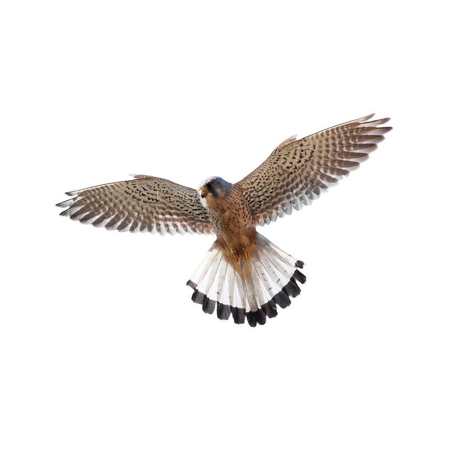 Kestrel Falco Tinnunculus Photograph by Andrew howe