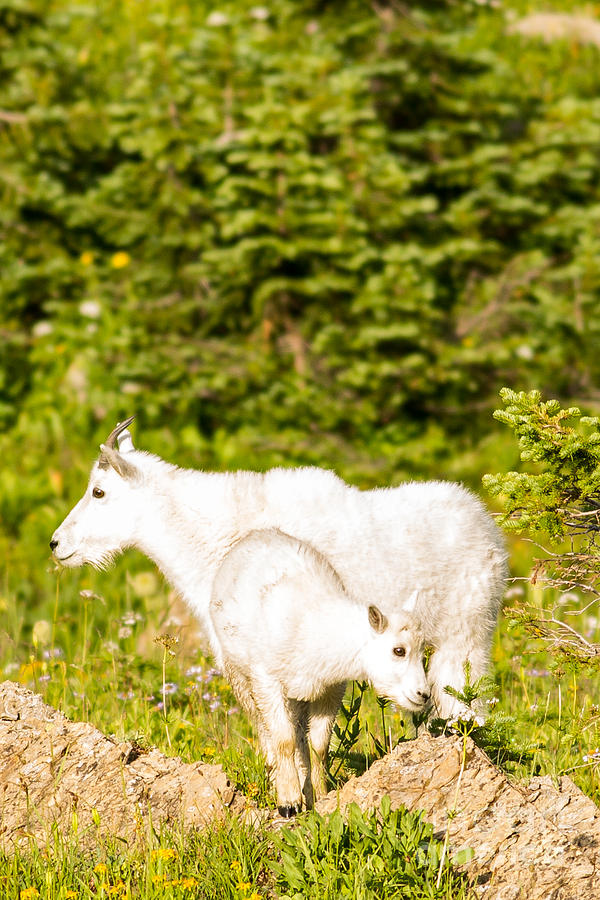 Mountain Goats Photograph - Kids In Glacier 4 by Natural Focal Point Photography