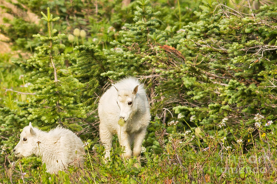 Mountain Goats Photograph - Kids In Glacier Np 3 by Natural Focal Point Photography