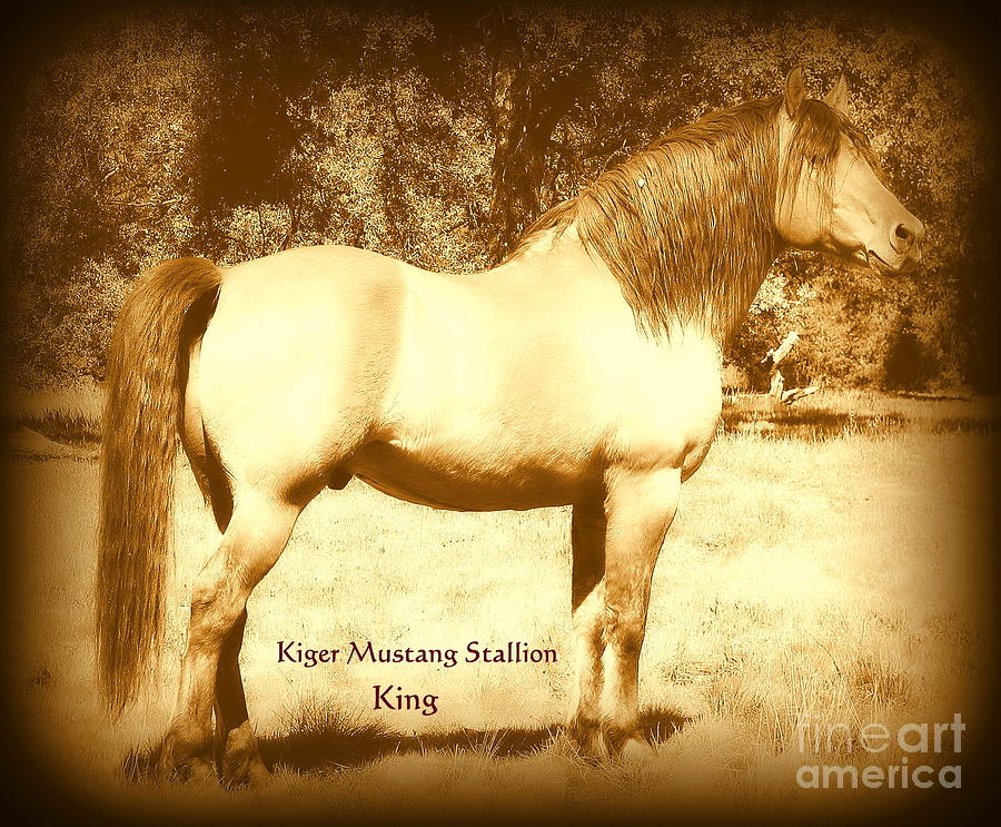 Mustang Photograph - Kiger Mustang Stallion King Sepia by Jodie  Scheller