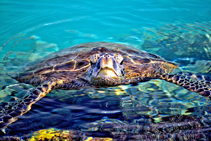 Hawaii Photograph - Kiholo Turtle by Bob Kinnison