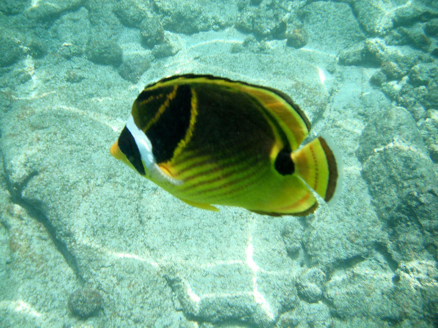 Fish Photograph - Kikapapu Fish by Karen Nicholson