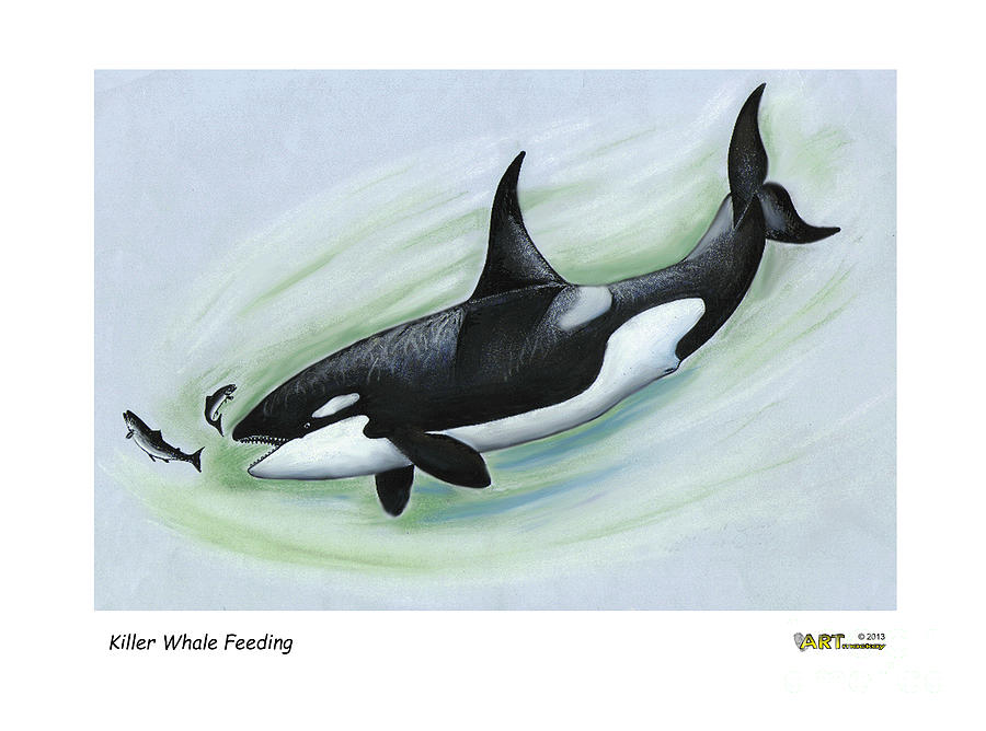 Killer Whale Feeding by Art MacKay
