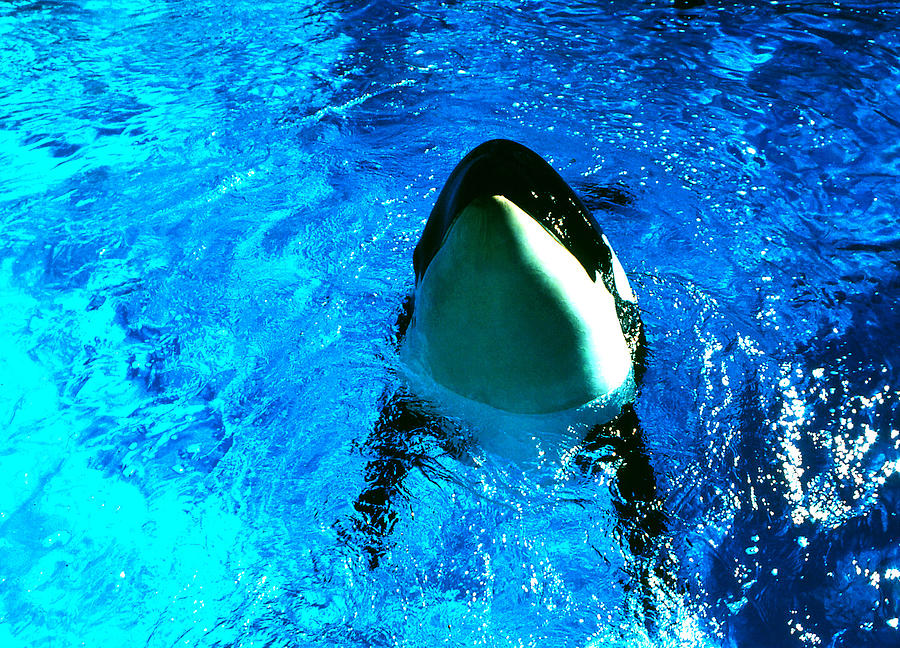 Killer Whale Greeting Photograph by Robert  Rodvik