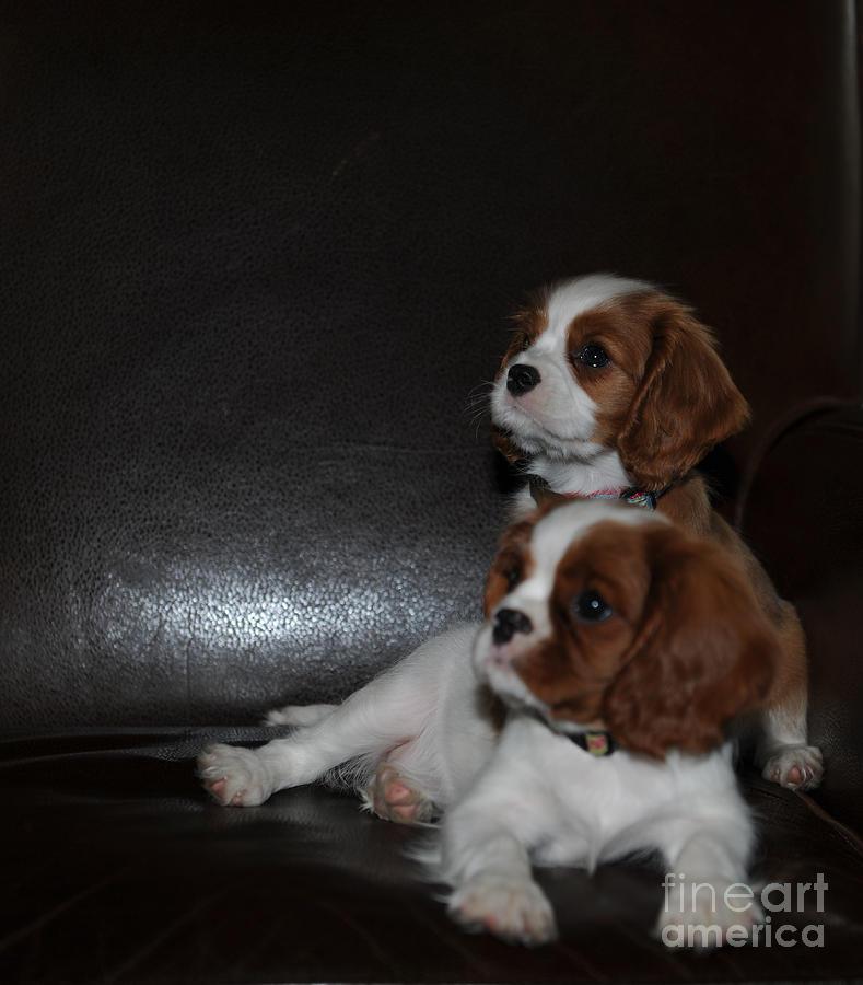 King Charles Puppies Photograph