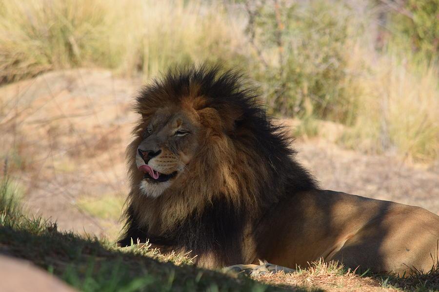 King Licks His Chops Photograph