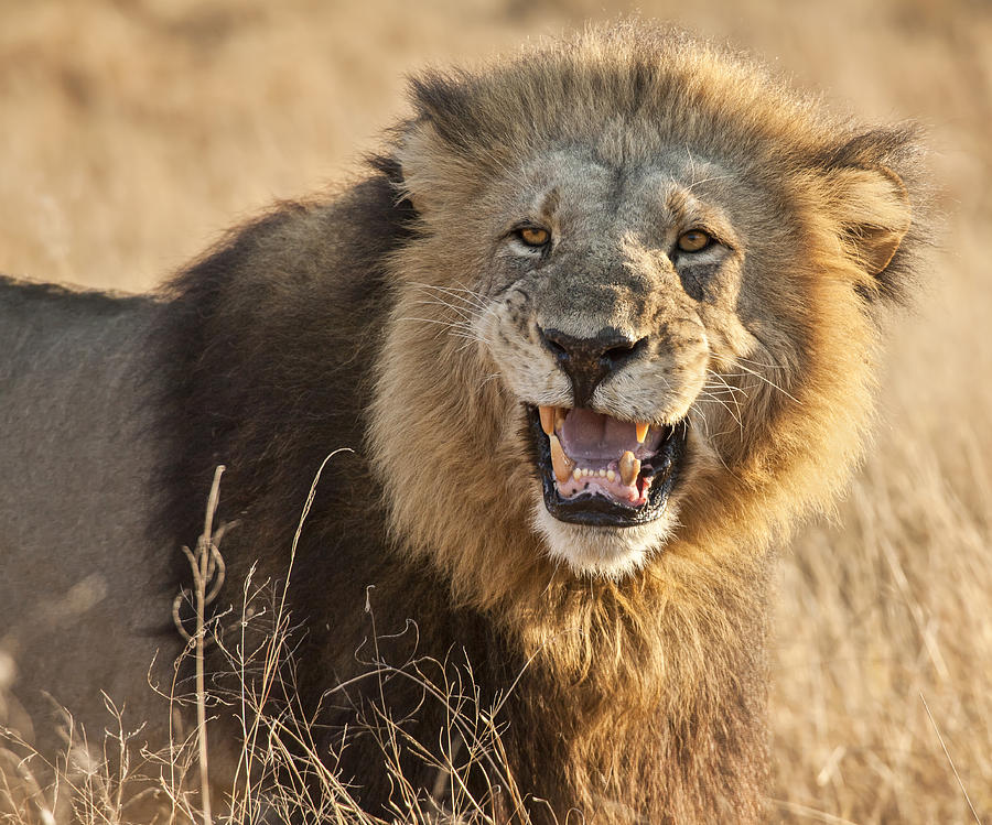 Lion Photograph - King Of Beasts by Jennifer