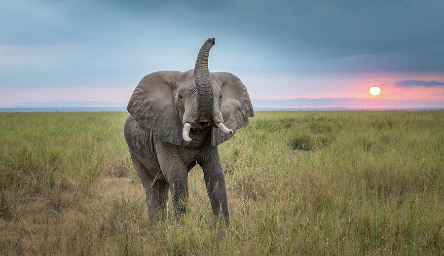 Elephant Photograph - King Of The Domain by Jeffrey C. Sink