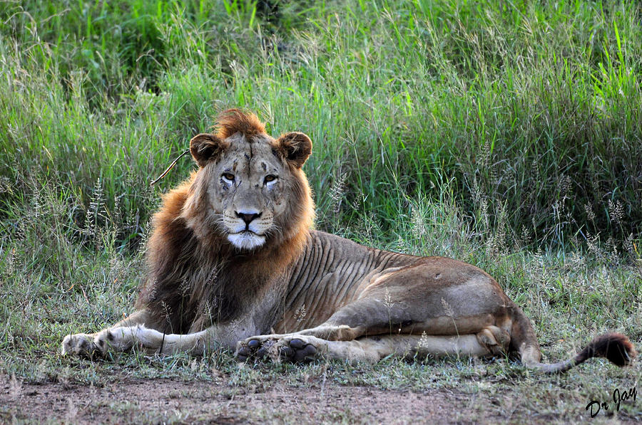 Lion Photograph - King of the Jungle by Jay Walshon MD