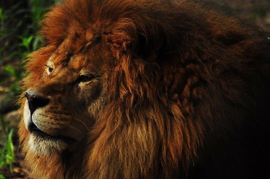 Lion Photograph - King Of The Jungle by Valarie Davis