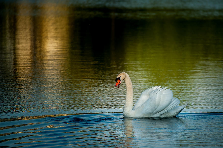 Swan Photograph - King Of The Lake by Paul Johnson