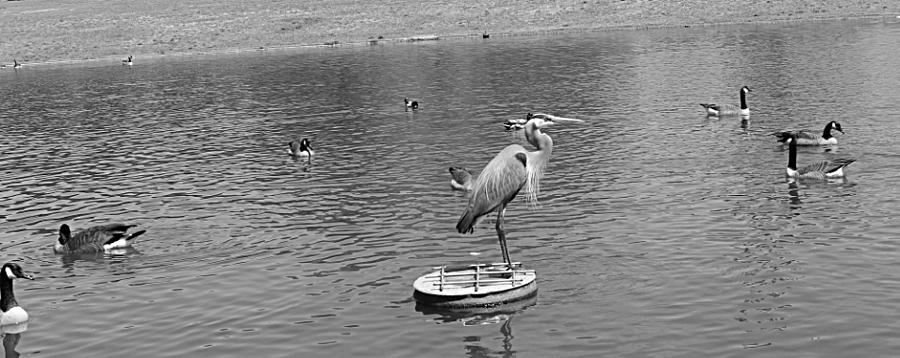 Birds Photograph - King Of The Pond by Sarah E Kohara