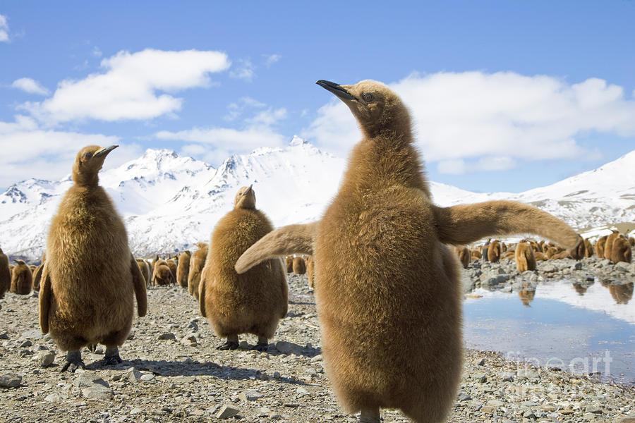 Mp Photograph - King Penguin Chicks South Georgia Island by Yva Momatiuk and John Eastcott