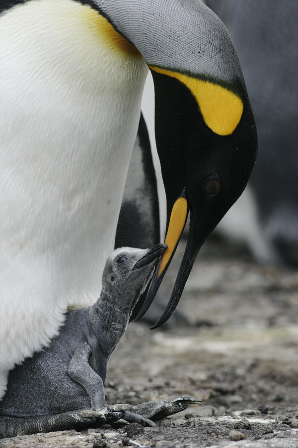 King Penguin Feeding Chick Falklands Photograph by Hiroya Minakuchi