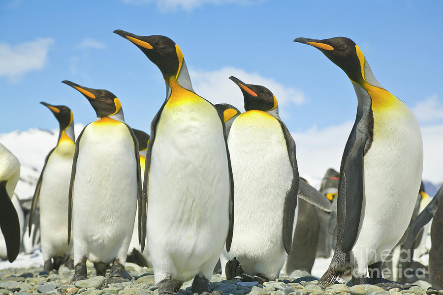 Mp Photograph - King Penguins Looking by Yva Momatiuk John Eastcott