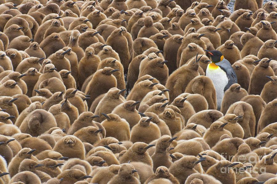 King Penguin In Creche  Photograph by Yva Momatiuk John Eastcott