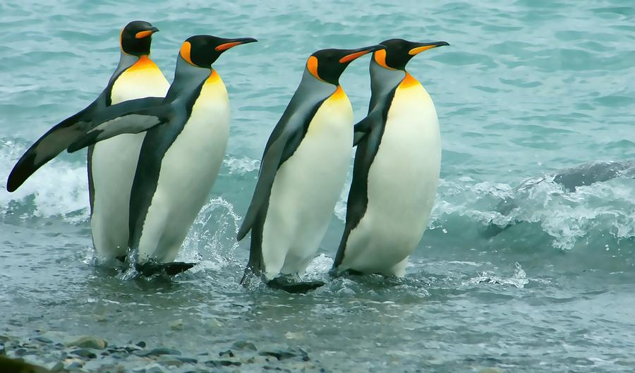 King Penguins Going To Sea Photograph