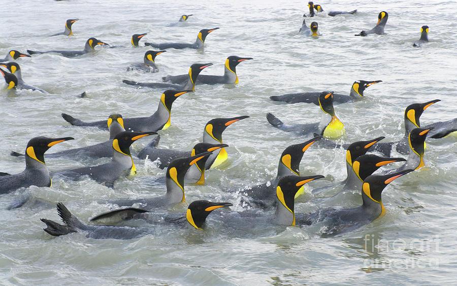 King Penguins Swimming S Georgia Island Photograph by Yva Momatiuk and John Eastcott