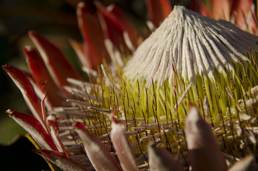 Proteus Photograph - King Protea by Aaron Bedell