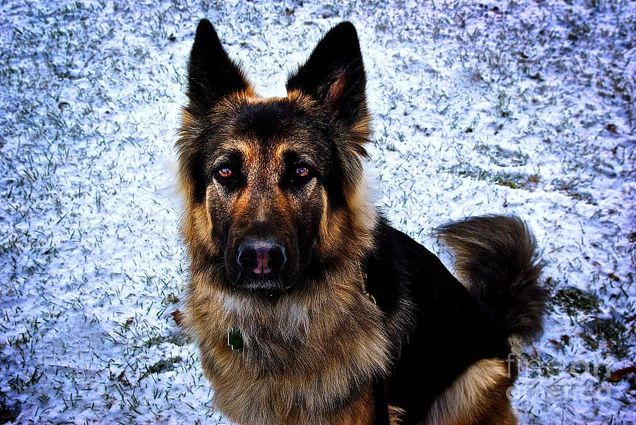 King Shepherd Dog Photograph