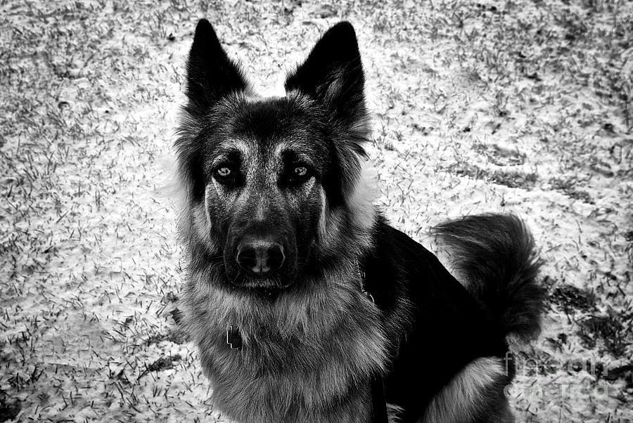 King Shepherd Dog - Monochrome Photograph